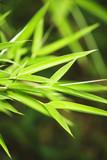 Fototapety Fresh green bamboo background