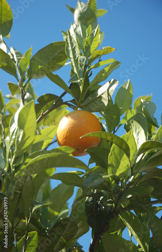 Orange fruit hanging on a tree