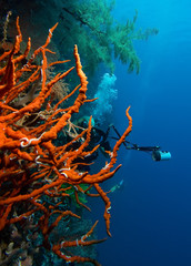 Diver with digital camera and red coral