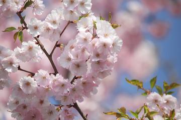 Zweige mit blauem Himmel, Blütenzweige