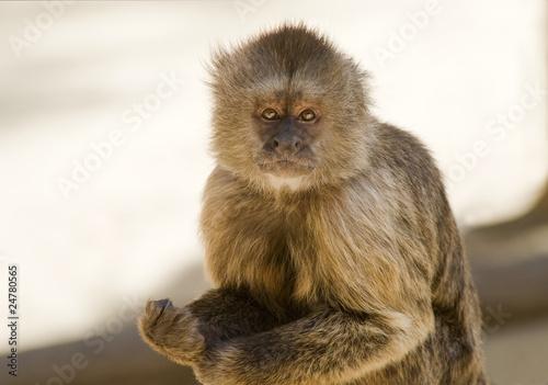 Foto op Canvas Aap Capuchin Weeper Monkey sitting on a branch