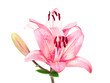 Wet pink lilly isolated on white background