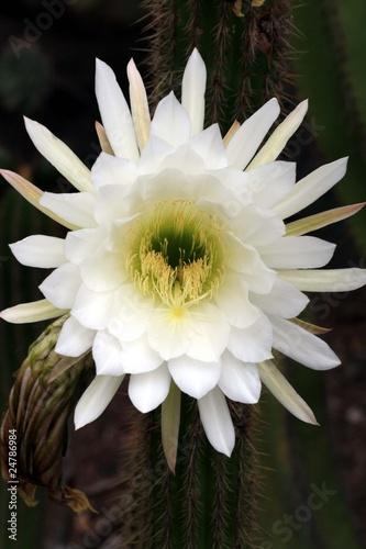 Foto op Canvas Cactus Kaktus echinopsis spachiana