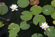 Lotus flower , water lily
