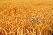Kornblume im Weizenfeld