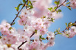 Ast mit rosa Blüten
