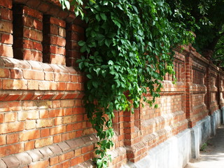 Stone wall of the old brick and green ivy leaves