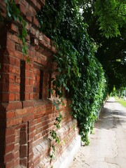 Old Stone wall of the brick and ivy leaves