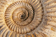 Ammonite closeup