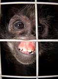 captive monkey poster