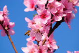 The bee pollinates an oriental cherry poster