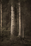 Big spruce trees in  sepia forest