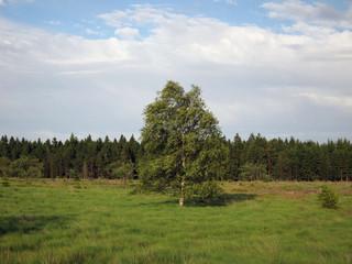 Birke im Hochmoor