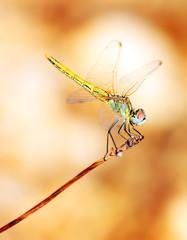 Closeup portrait of dragonfly