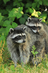 Raccoon parent and kid