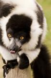 Black and white ruffed lemur in captivity poster