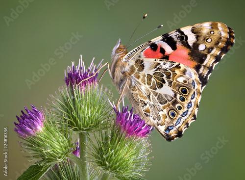 Deurstickers Vlinder Painted Lady on Burdock