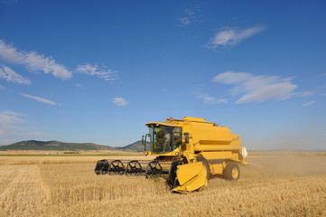 Cosechando trigo duro