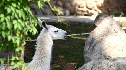 lama glama feed in zoo - close up