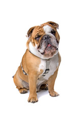 front view of english bulldog isolated on a white background