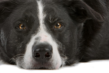Border collie dog, head.