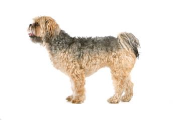 profile of mixed breed dog (shih tzu, maltese) isolated on white