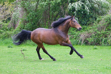 chestnut beautiful horse running