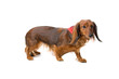 long haired standard dachshund isolated on white