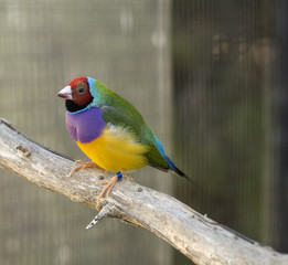 Australian finch Gouldian red headed male bird with purple green