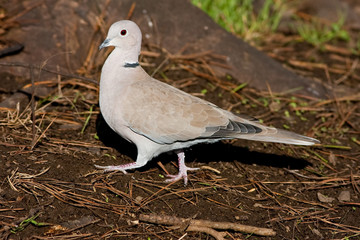 Collared Dove Walking on Pine Needles Profile View