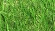 herbe du jardin