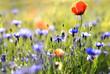 canvas print picture - fleurs des champs