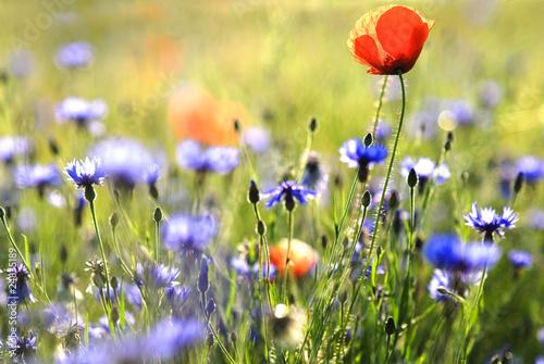 canvas print picture fleurs des champs