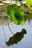 American Lotus Leaf In Wetlands poster