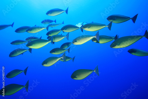 Shoal of Sleek Unicornfish