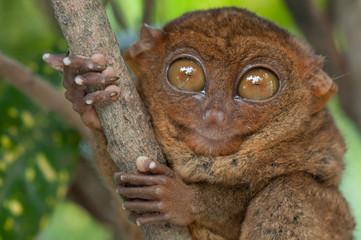 Little tarsier