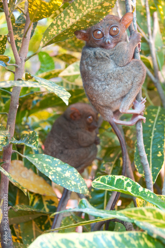 Two tarsiers