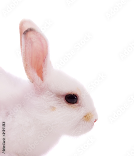 Closeup of  white rabbit