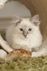 ragdoll kitten in play tunnel