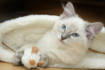 ragdoll kitten in bed
