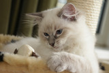 ragdoll kitten playing