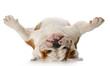 canvas print picture - dog laying on his back