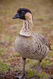 Hawaiian Goose - Nene - Closeup - full body