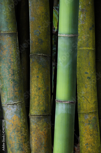 Young and Old Bamboo