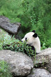 Panda bear eating fresh bamboo,zoo,Vienna