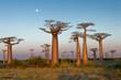 Leinwanddruck Bild - Field of Baobabs