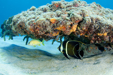 French Grunt and French Angelfish sharing a reef overhang