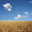 A Golden Wheat Field Landscape with blue Sky