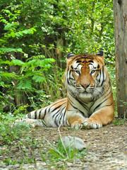 tigre sguardo