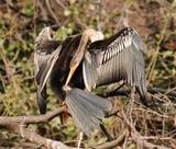Indian Darter Anhinga melanogaster cleaning feathers